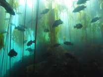 Healthy kelp forests in Gwaii Haanas National Marine Conservation Area Reserve and Haida Heritage Site